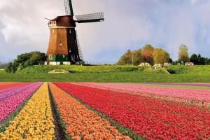 オランダ チューリップ